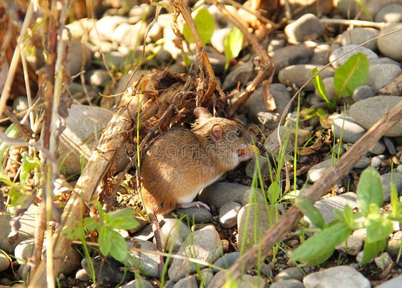 Pasiasta Śródpolna mysz obrazy stock
