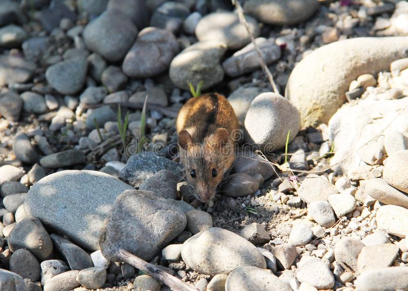 Pasiasta Śródpolna mysz zdjęcie royalty free