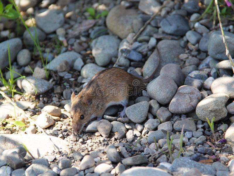 Pasiasta Śródpolna mysz obrazy royalty free