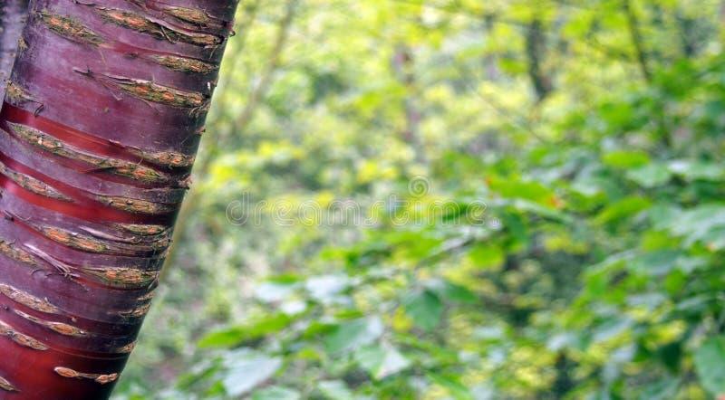 Pasiasta czerwona czereśniowa drzewna barkentyna przeciw zamazanemu zielonemu natury lata tłu zdjęcie stock