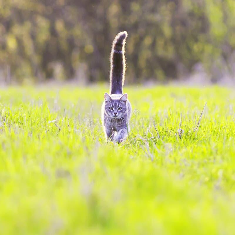 Pasiastego młodego kota znacząco spacery na jaskrawym - zielony wiosny meado obraz royalty free