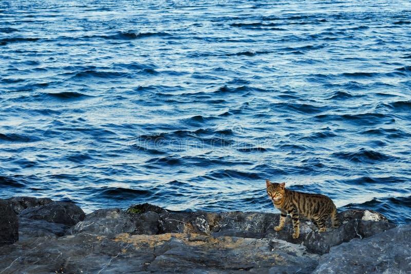 Pasiasty łaciasty bezdomny kot na skałach obraz stock