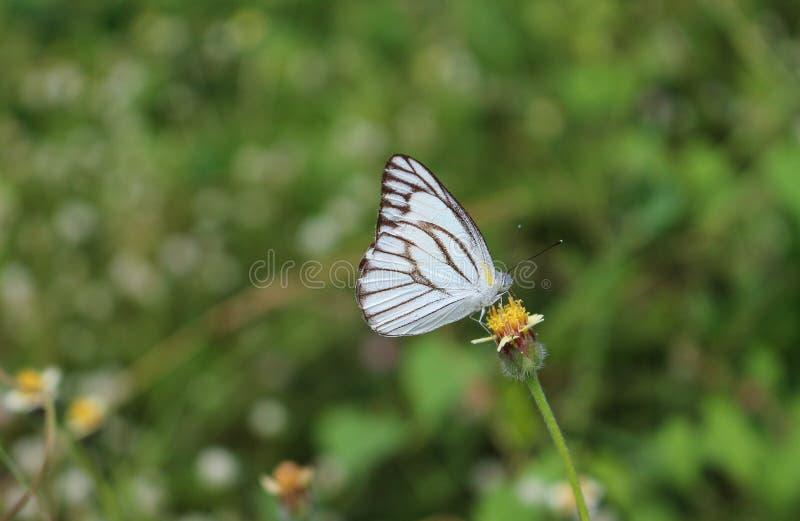 Pasiasty albatrosa motyl na kwiacie obraz stock