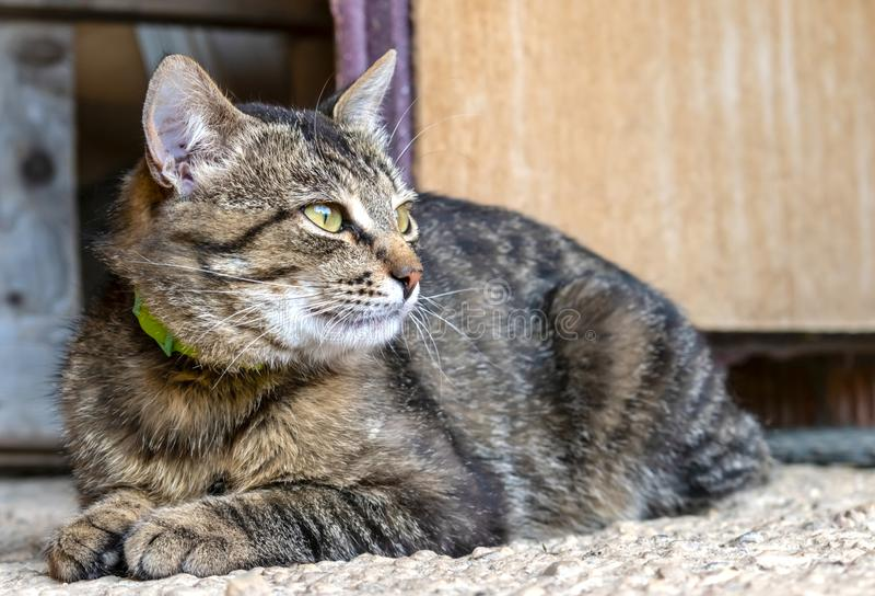 Pasiasty brązu kot z zielonym kołnierzem fotografia stock