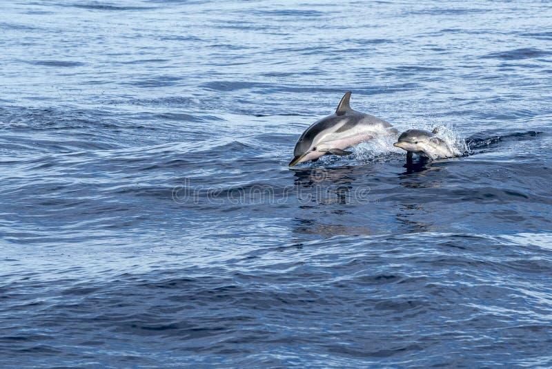 Pasiasty delfinu jumpin przy zmierzchu dzieckiem i matką fotografia royalty free
