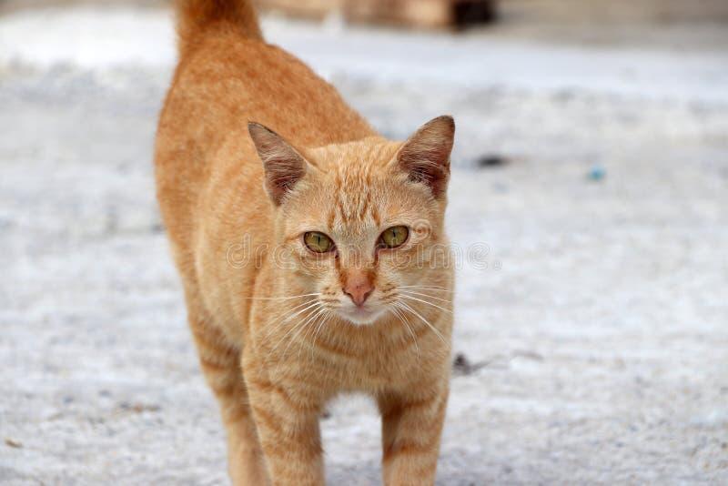 Pasiasty pomarańczowy kota odprowadzenie na beton ziemi zdjęcia royalty free