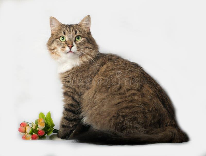 Pasiasty puszysty Syberyjski kota obsiadanie na szarość zdjęcie royalty free