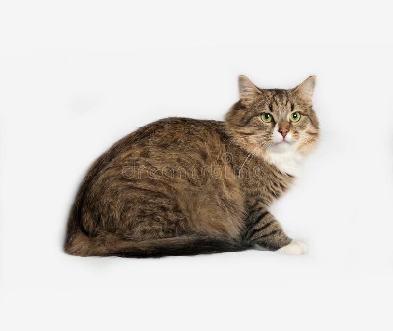 Pasiasty puszysty Syberyjski kota obsiadanie na szarość fotografia stock