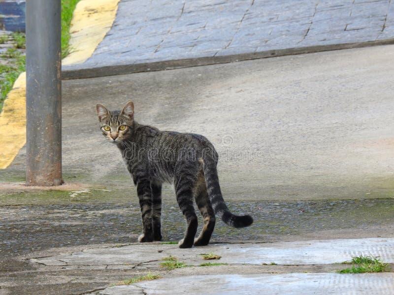 Pasiasty uliczny kot z kolorów żółtych oczami i zdjęcie stock