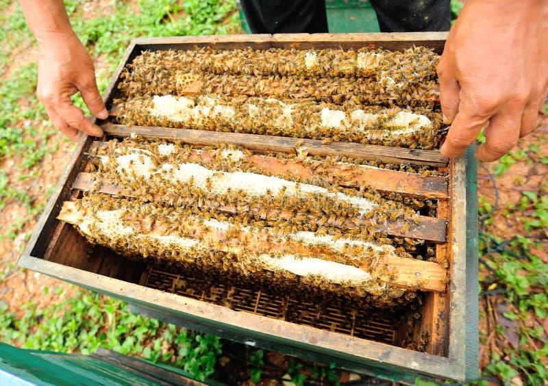pasieki ulowy pszczół gazon zdjęcia royalty free
