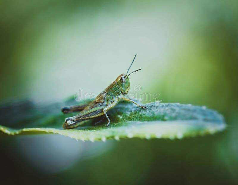 Pasikonik na li?ciu na jaskrawym zieleni tle na letnim dniu Zamyka w g?r? makro-, bocznego widoku, Insekty s? zarazami zdjęcie royalty free