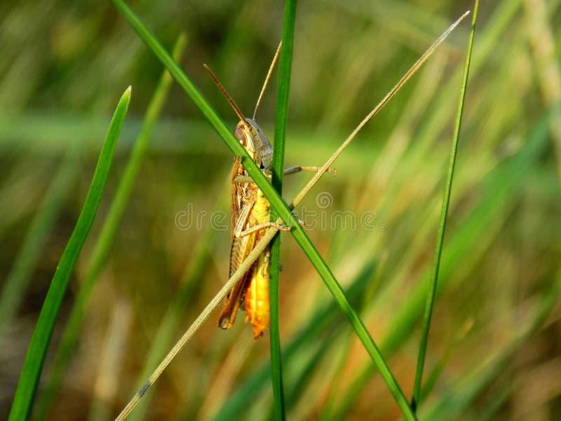 Pasikonik na trawy ostrzu obrazy royalty free