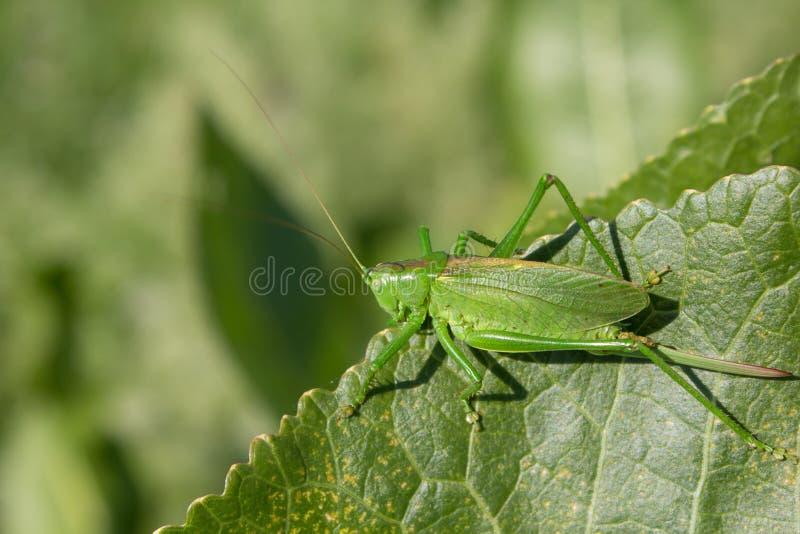 Pasikonik na zielonym liściu insekt maskował w zielonym kolorze liście roślina zdjęcie stock