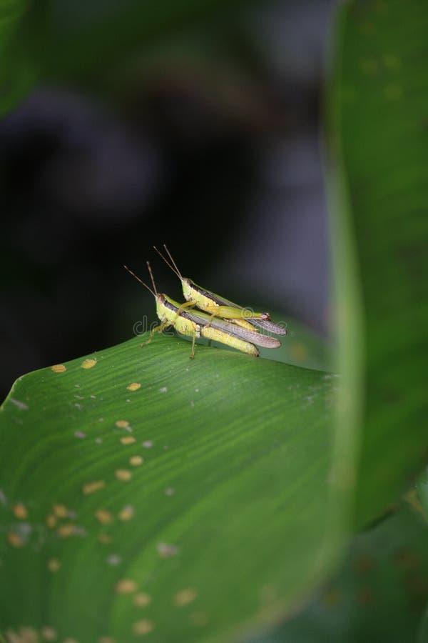 Pasikonik, reprodukuje na liściu w grden zdjęcia royalty free