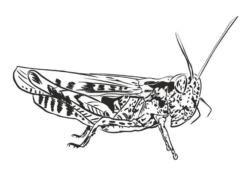 Pasikonik szarańcza royalty ilustracja