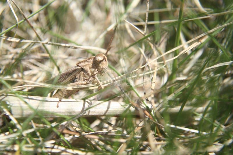 Pasikonik w trawie zdjęcie stock
