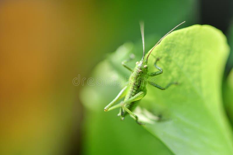 pasikonika zielony liść obsiadanie zdjęcie royalty free