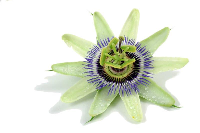 pasja kwiat zdjęcia stock