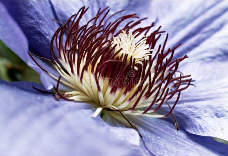 pasja kwiat obraz royalty free
