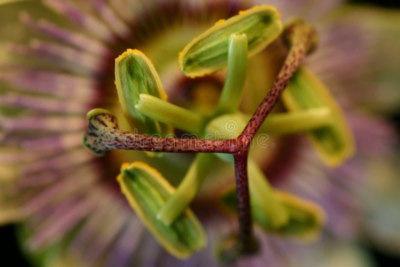 pasja kwiat fotografia stock