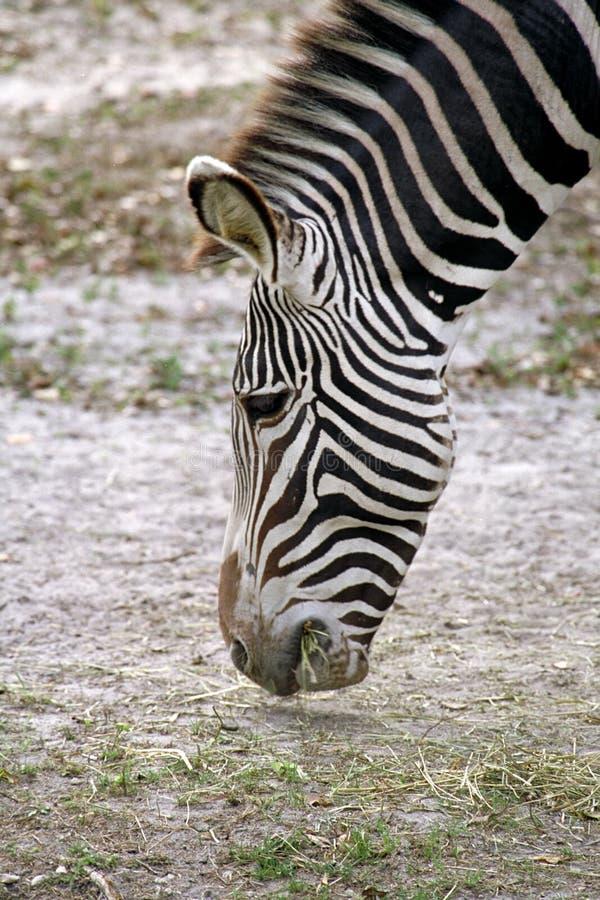 Download Paski zdjęcie stock. Obraz złożonej z lampasy, zebra, przyroda - 129418