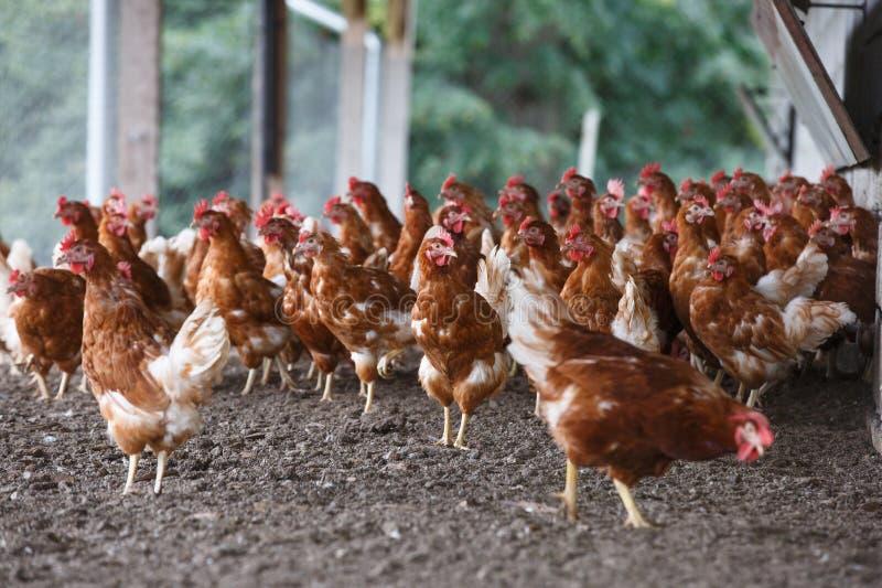 Pasmo kurczak wolno pasa outside fotografia royalty free