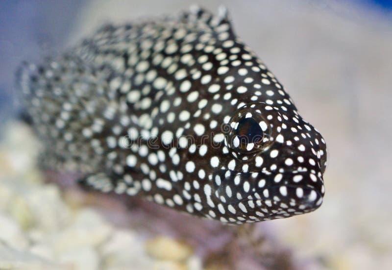Pasmowy Grouper zdjęcie royalty free