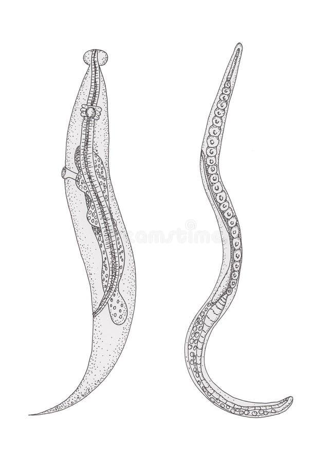Pasożytnicze dżdżownicy Pinworm opuszczać i Trichinella dobro Ręka bębeny royalty ilustracja