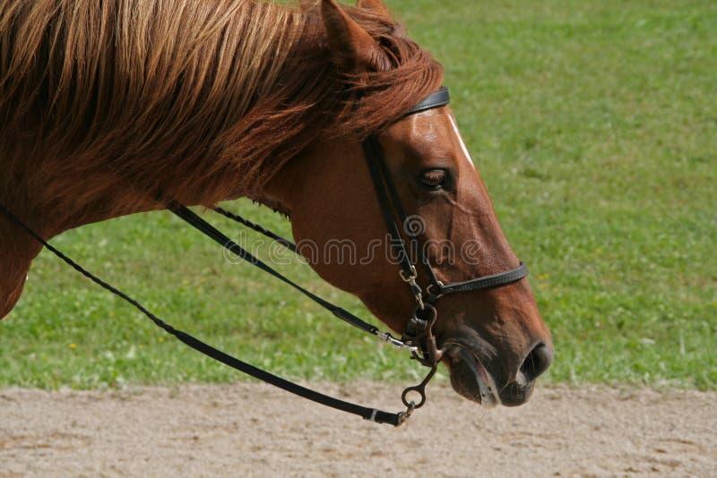 Download Paso περουβιανός στοκ εικόνες. εικόνα από over, άλογο - 13181968
