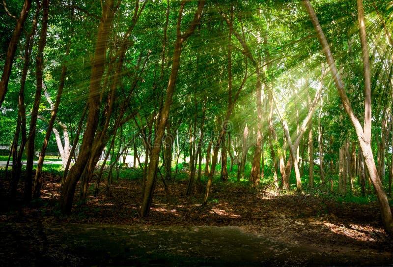 Paso del haz de Sun a través de la hoja verde fotografía de archivo libre de regalías