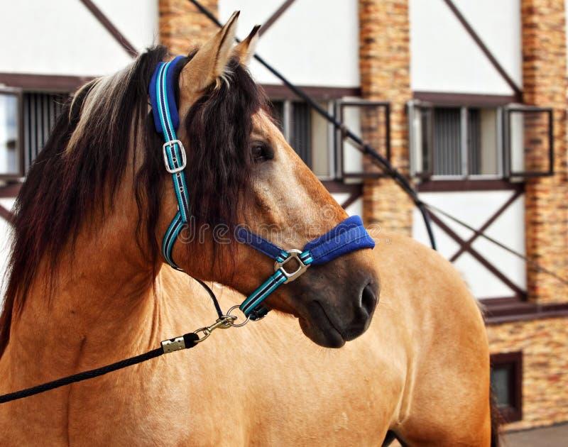 Paso Fino horse portrait in stud farm. Paso Fino horse portrait in summer stud farm royalty free stock photography