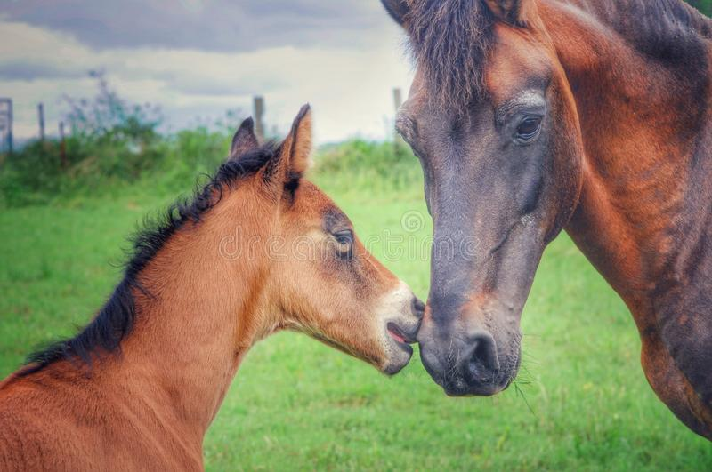 Paso Fino Stallion and His Colt. Sire and foal horses in a pasture field on a farm in Arkansas stock photos