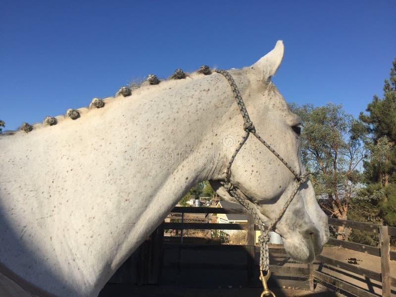 Paso Robles oktober 2017 - flätade flätade grå färger inkvarterar att kastrera för häst royaltyfria foton