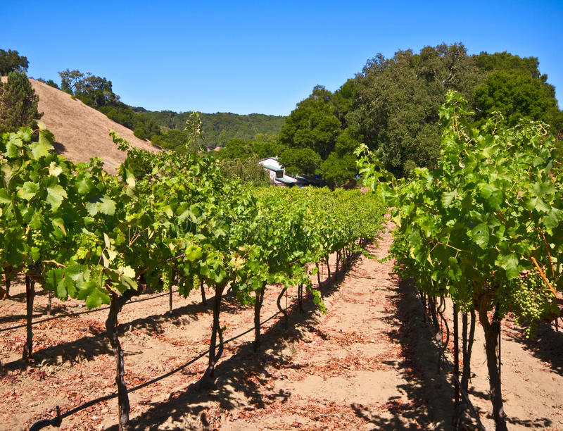 Paso Robles Vineyard, California stock photo