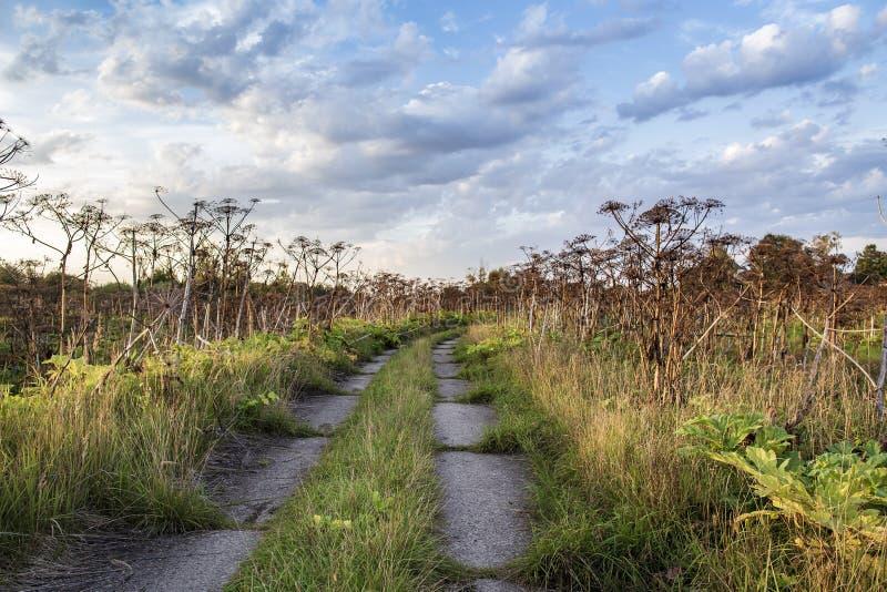 Pasos concretos, hierba-cubiertos del camino a trav?s de un campo abandonado con un gigante, Heracleum hogweed t?xico o la pastin fotografía de archivo libre de regalías