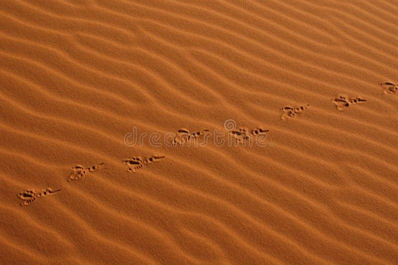 Pasos de progresión del pájaro en el desierto de Sáhara fotografía de archivo libre de regalías