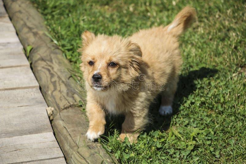 Pasos divertidos lindos del perrito del color rojo sobre una cerca de madera del césped imágenes de archivo libres de regalías