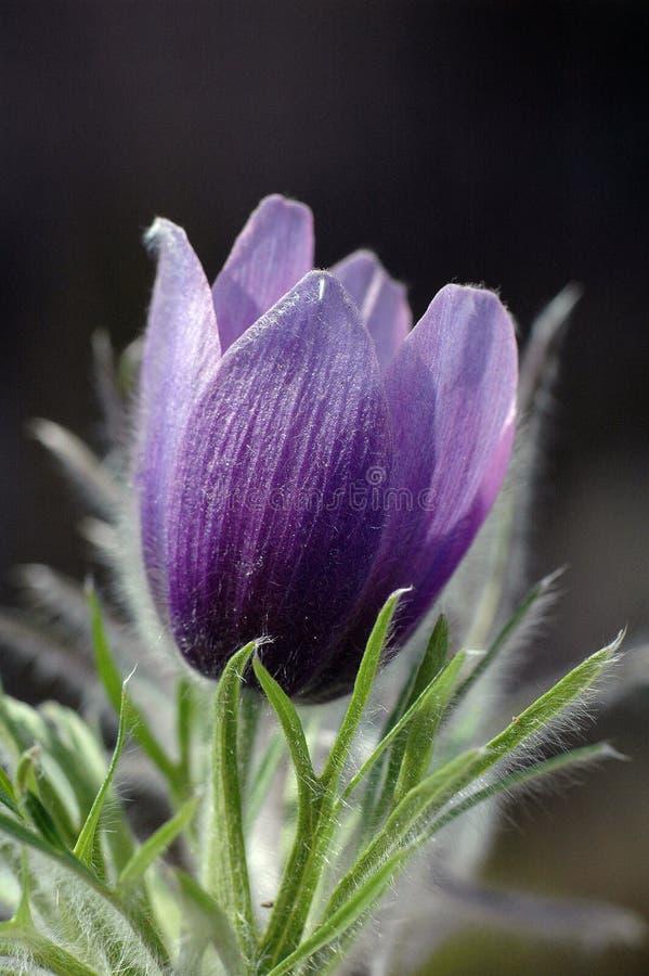 Pasque blomma royaltyfria bilder
