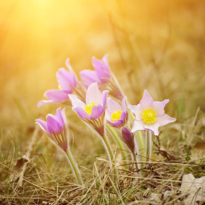 Pasque-blomma i natur arkivfoto