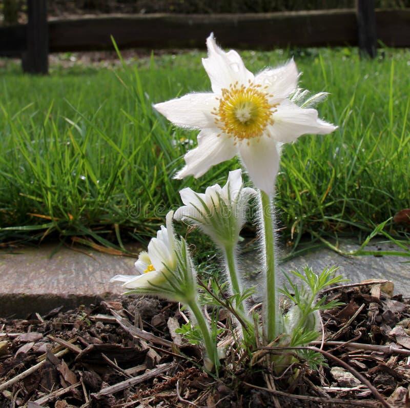 Pasque blommor royaltyfri fotografi