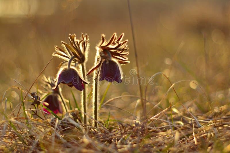 Pasque blommor i solnedgångtid arkivbilder