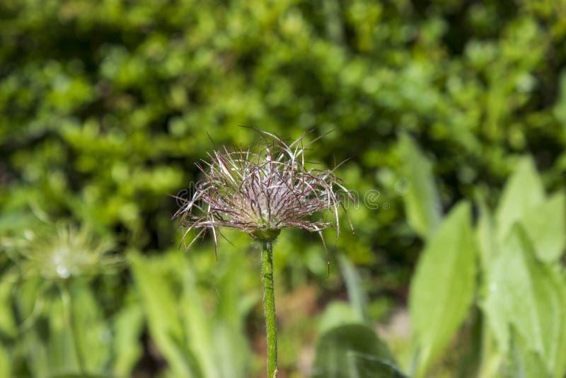 Pasque-Blume, nachdem Tropfenwasser geblüht worden ist lizenzfreie stockbilder