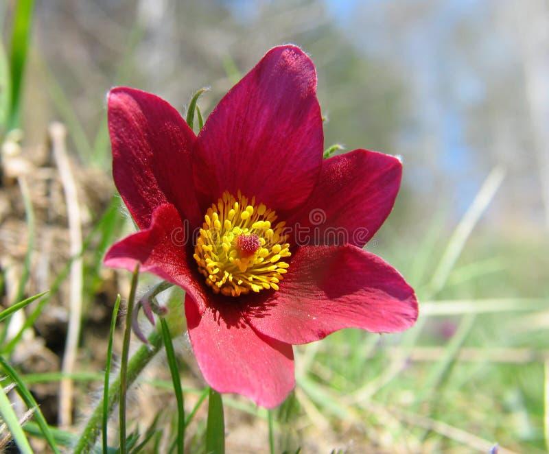 Pasque-fleurs image libre de droits