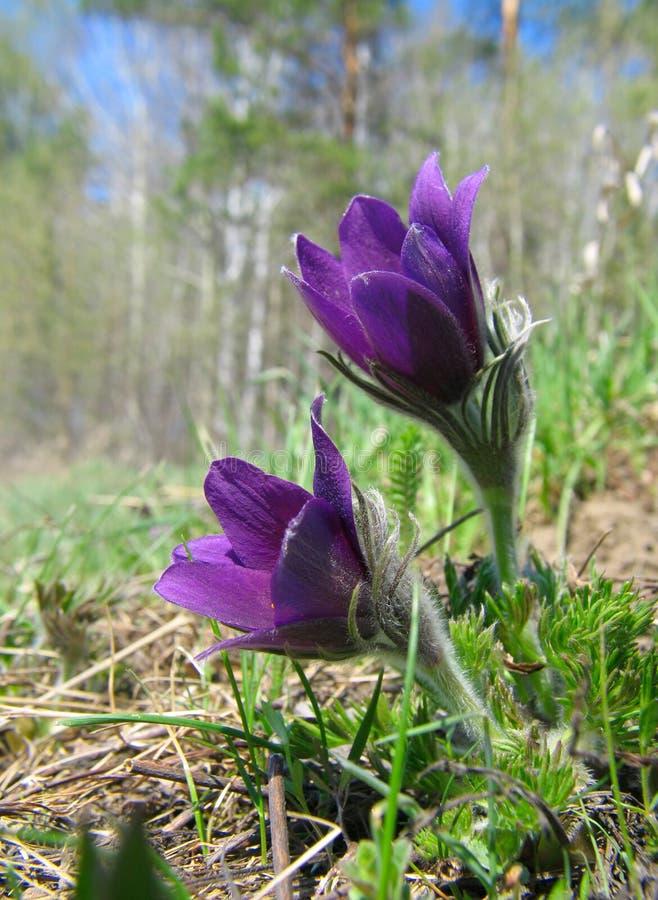 Pasque-fleurs photographie stock libre de droits