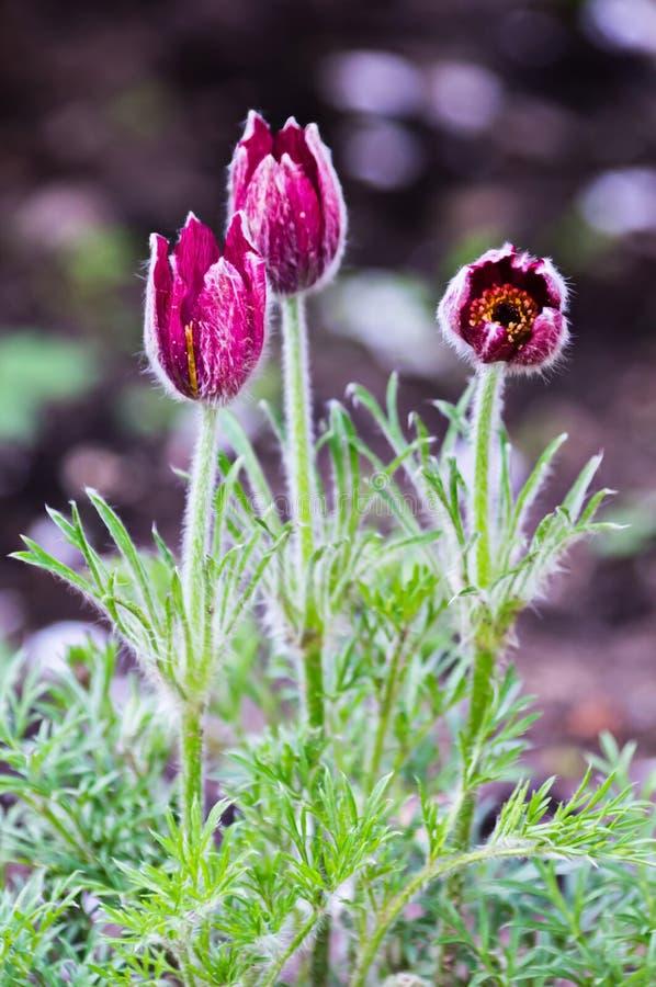 Pasque-flor no jardim fotografia de stock
