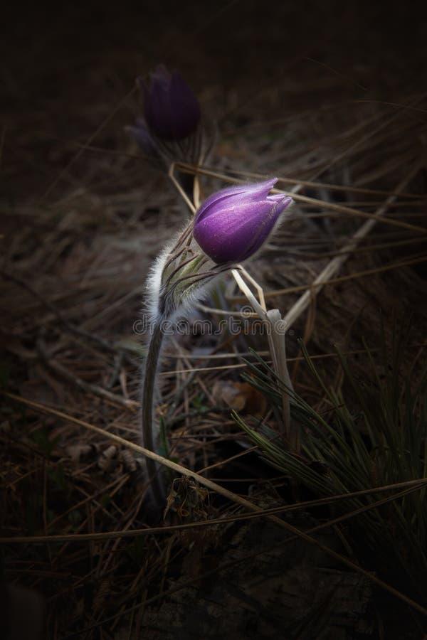 Pasque-flor salvaje del bosque de la primavera imagenes de archivo