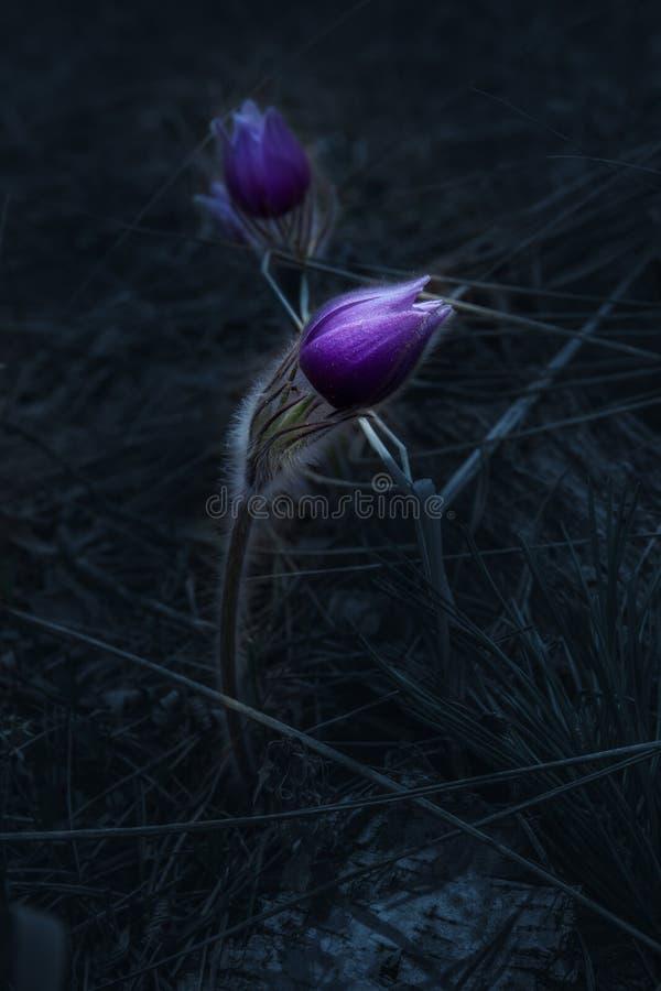 Pasque-flor selvagem da floresta da mola fotografia de stock