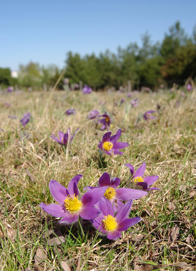 Download Pasque flower stock image. Image of grass, leaf, forest - 12954577