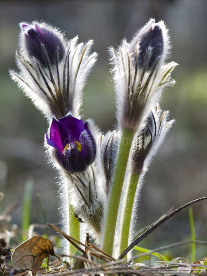 Pasque-flower stock photo