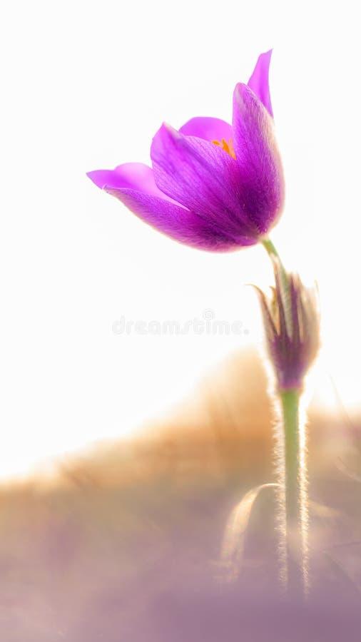 Pasque Flower stockfoto